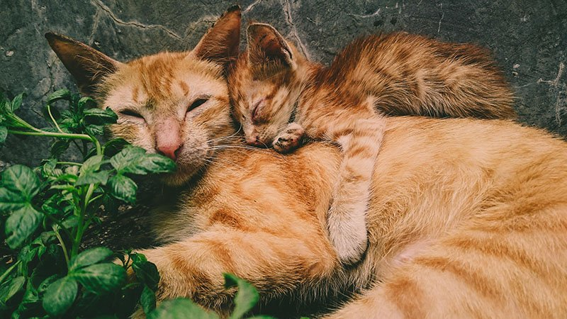 A red adult cat and its kitten
