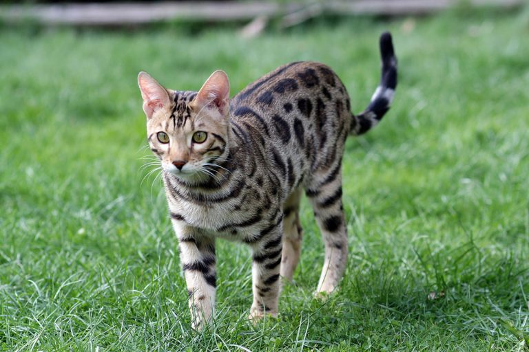Best Litter Box For Bengal Cats – Our Top 5