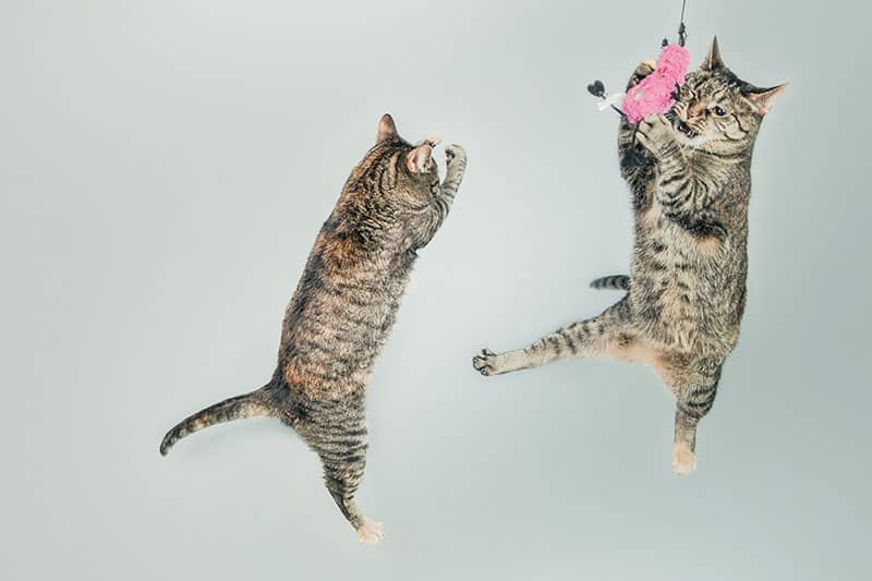 Cats jumping in the air to catch a toy