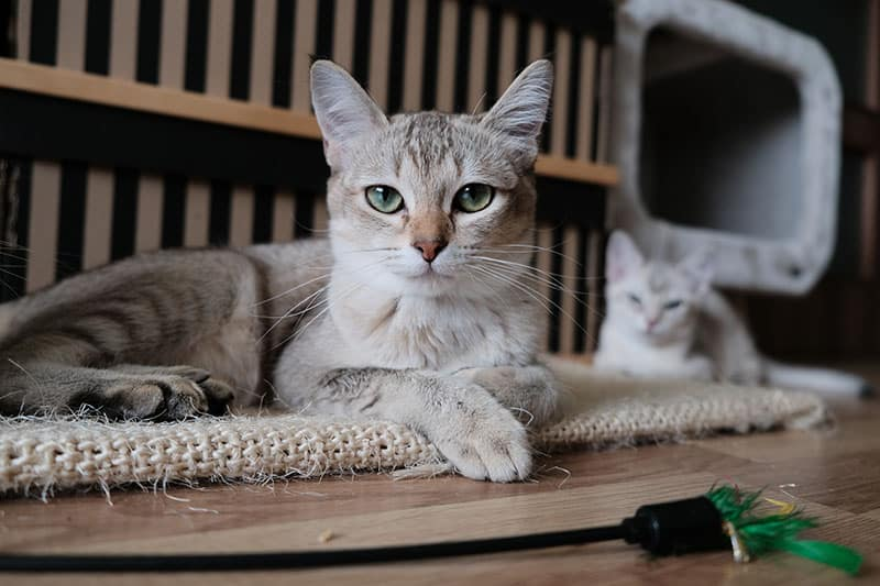 Grey and white cat staring straight into the camera