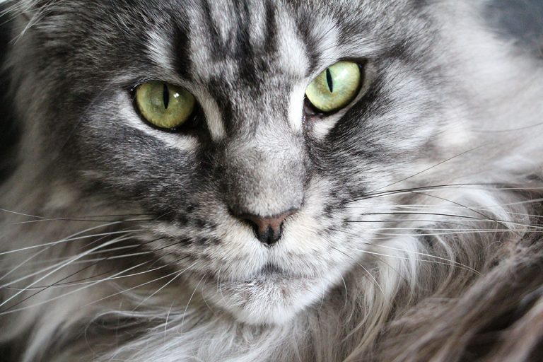 Best Litter Box For Maine Coon Cats