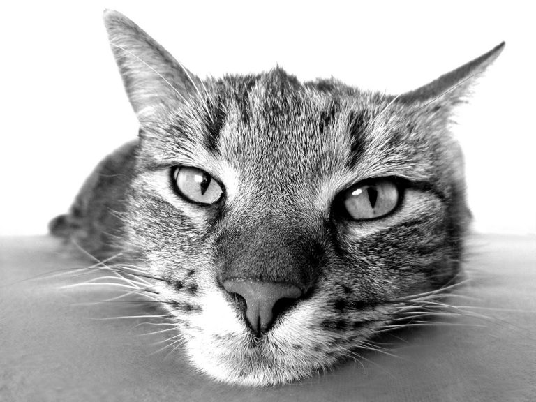 How Does A Cat Purr Work?