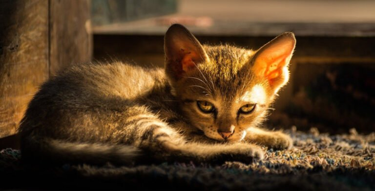 12 Signs Of Dehydration In Cats