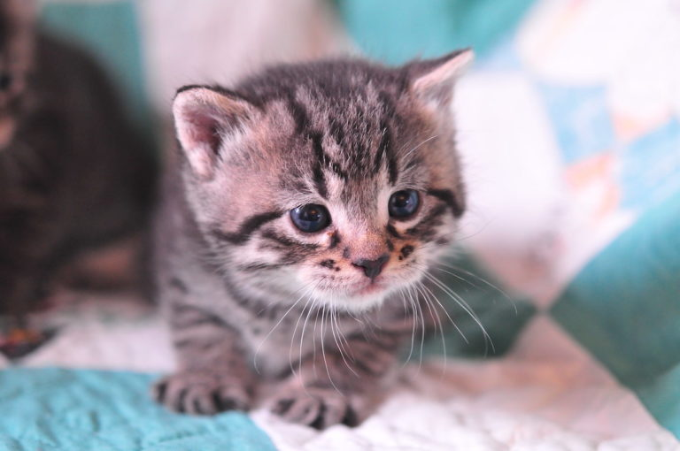 What Vaccines Do Kittens Need?